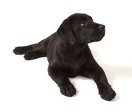 Black Labrador Retriever Puppy Royalty Free Stock Image