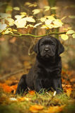 Black Labrador retriever puppy Royalty Free Stock Photo