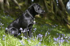 Black labrador retriever puppy in bluebells. Image shows black labrador sitting in bluebells with beech trees in background Royalty Free Stock Photography