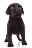 Labrador retriever puppy dog looking up Royalty Free Stock Images