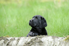Black labrador retriever puppy Royalty Free Stock Photos