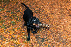 Black labrador retriever puppy holding a stick Royalty Free Stock Image