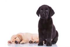 Black labrador retriever puppy sitting in front of sleeping brot Royalty Free Stock Photo