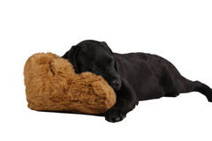 Black labrador retriever puppy with toy Stock Photography