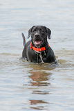 Black Labrador Retriever Puppy in water Royalty Free Stock Photos