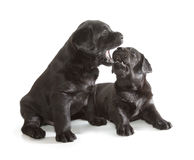Black Labrador Retriever Puppy Royalty Free Stock Photography