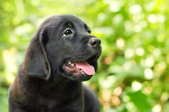 Black labrador retriever puppy in the yard. (shallow dof Stock Photo