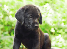 Black labrador retriever puppy in the yard. (shallow dof Royalty Free Stock Photography