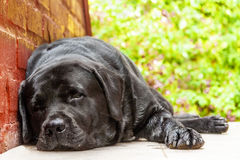 Black labrador-retriever resting in the shade Royalty Free Stock Image