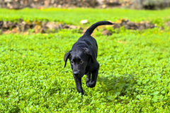 Black labrador retriever runs Royalty Free Stock Images
