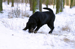Black labrador retriever sniffing the snow. Portrait of black young labrador retriever sniffing the snow at day Royalty Free Stock Photography
