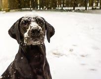 Black Labrador Retriever in the Snow Royalty Free Stock Photo