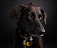 Black Labrador Retriever Studio Shot. Picture of a black labrador retriever in a studio on a black background royalty free stock photos
