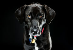 Black Labrador Retriever Studio Shot. Picture of a black labrador retriever in a studio on a black background stock photography