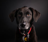 Black Labrador Retriever Studio Shot. Picture of a black labrador retriever in a studio on a black background stock images