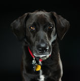 Black Labrador Retriever Studio Shot. Picture of a black labrador retriever in a studio on a black background royalty free stock photo