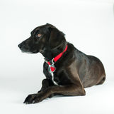 Black Labrador Retriever Studio Shot white background. Picture of a black labrador retriever in a studio on a white background stock image