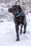 Black labrador retriever walking in the snow Royalty Free Stock Photography