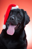 Black labrador retriever wearing red cap of santa Stock Image