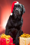 Black labrador retriever wearing red cap of santa. Sitting with presents on red background Royalty Free Stock Image