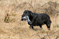 Black Labrador retrieving a pigeon. Black Labrador retrieving pigeon during field trial competition royalty free stock images