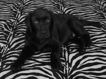 Black labrador retriver puppy Stock Image