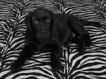 Black labrador retriver puppy Stock Image