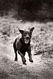 Black Labrador Running Royalty Free Stock Images