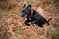 Black Labrador Running Stock Image