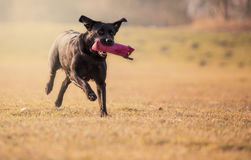 Black labrador. Running with pink toy stock images