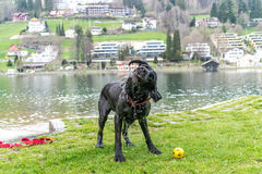 Black labrador shaking. Black Labrador just about to shake off that water after a quick splash around in the lake Royalty Free Stock Images