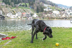 Black labrador shaking. Off that water after a quick splash around in the lake and stooping to pick up her ball Royalty Free Stock Image