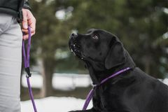 Black Labrador sitting in front of a dog trainer on a snowy day. stock photos