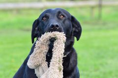 Black Labrador sitting on the grass Stock Images