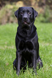 Black labrador sitting on green grass Stock Image