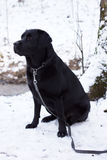 Black Labrador sitting in the snow. Royalty Free Stock Photos