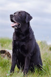 Black Labrador sitting in a summer field near the stump. Royalty Free Stock Photos
