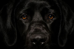 Black labrador smart face looking straight Stock Photography