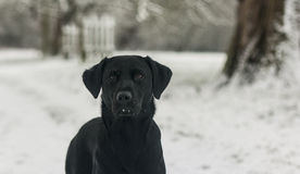 Black labrador in the snow Royalty Free Stock Images