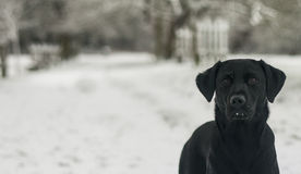 Black labrador in the snow Stock Image
