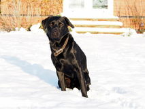 Black Labrador in the Snow Royalty Free Stock Image
