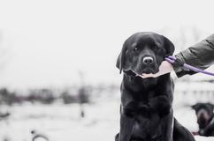 Black Labrador in Snow. royalty free stock photo