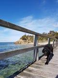 Black Labrador. On Sorrento peir, Victoria, Australia stock images