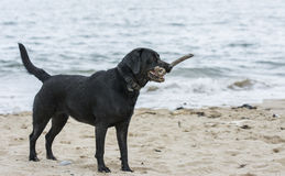 Black Labrador stands on beach with stick in mouth Royalty Free Stock Photos