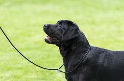 Black labrador staying on the grass. Black labrador staying on the green field Royalty Free Stock Images