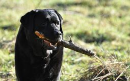 Black Labrador with stick Stock Photography