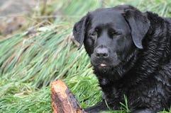 Black Labrador with stick Stock Image