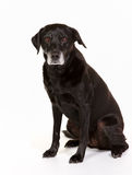 Black labrador in studio Stock Photos