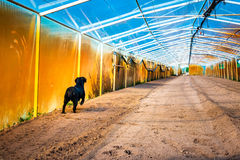 Black Labrador walking in the plowed greenhouse Stock Photo