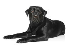 Black Labrador on a white background Royalty Free Stock Image